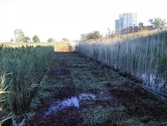 mowed path through tall grass revealing puddles, mosquito habitat ~ Revere